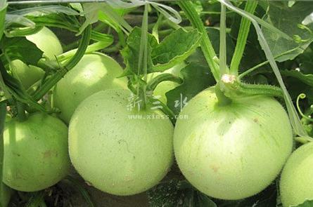 「雪梨瓜」是佛山市三水區樂平鎭的土語,廣州城叫「香瓜」,普通話叫「甜瓜」「香瓜」。