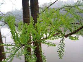 水杉树也有春天。。。