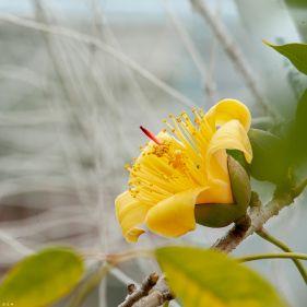 黄金木棉花