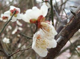 南雄梅关古道盛放的杏花梅花。。。
