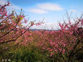 台北盛开的樱花。。。