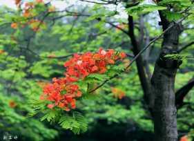 五月凤凰花全盛