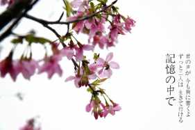 樱花三月下三广