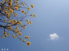 四会将军山的黄花风铃木。。。