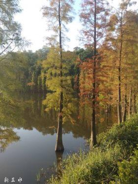 三水森林公园鸳鸯湖的水杉树美如莫奈的油画。。。
